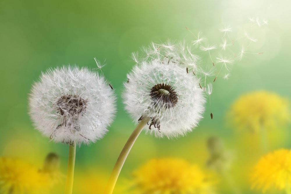 dandelions-min